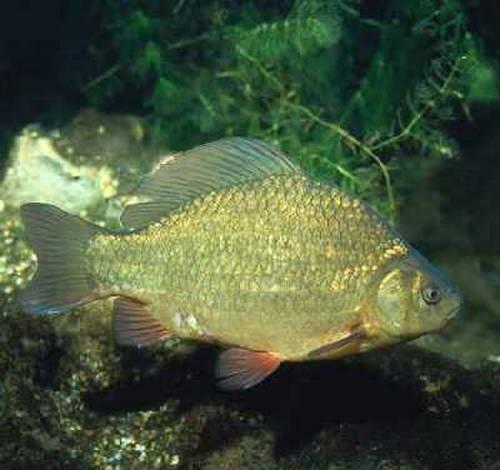 Его пища в природе - личинки различных насекомых, обитающие на дне и в иле.  Окраска золотого карася - бронзовая с.