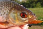 Ловля мирной рыбы спиннингом