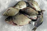 караси на льду зимняя рыбалка