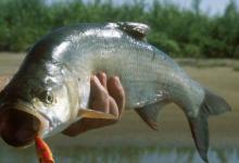 рыба Амура