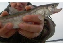 корюшка в руках рыболова