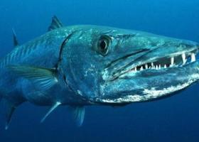 Рыба барракуда