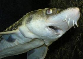 Осязание у рыб