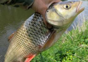 голавль в руке рыбака
