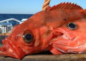пойманный морской окунь
