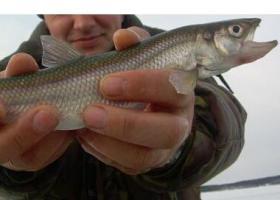 Рыбалка окунь первый лед