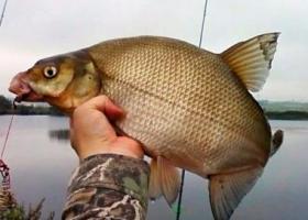 большой лещ в руках рыбака