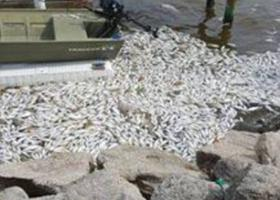 Погибшая рыба от катаклизма Эль-Ниньо