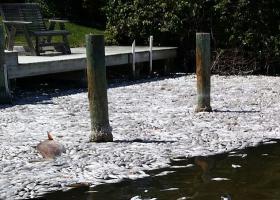 Погибшая рыба от катаклизма Эль-Ниньо (фото)