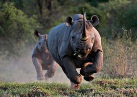 бегущий белый носорог