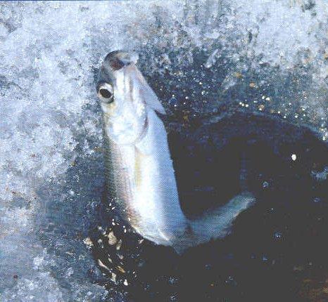 Секреты подлёдного лова омуля на Байкале