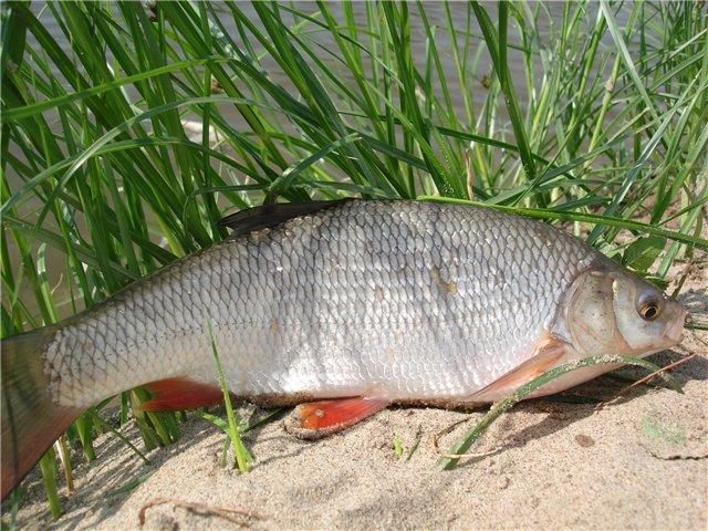 купить активатор клева голодная рыба в бресте
